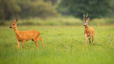 La nature racontée : La folle course amoureuse du chevreuil