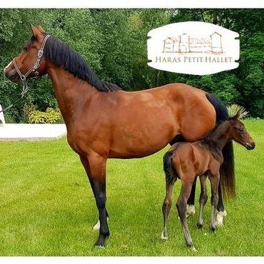 Que vous cherchiez un endroit en Belgique pour héberger vos poulains, jeunes chevaux, poulinières ou chevaux à la retraite, le Haras Petit-Hallet est l'endroit idéal !