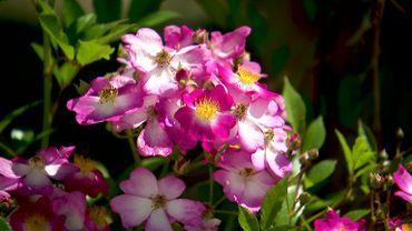 La roseraie Warren Millington à La Glanerie