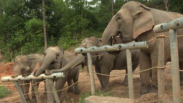 """Thaïlande, le sombre envers du décor pour les """"éléphants à touristes"""""""