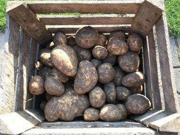 Les pommes de terre cultivées par cet agriculteur sont destinées à l'industrie de la frite