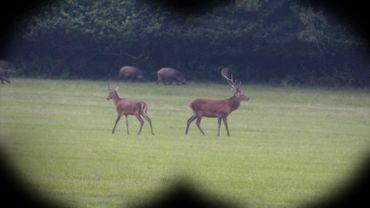 Cerfs, biches, daguets ou encore marcassins. Le gibier est bien présent à Freux pendant la période de brame.