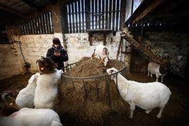 Un ouvrier agricole filme des chèvres pour un appel Zoom à Cronkshaw Fold Farm, Rossendale, nord-ouest de l'Angleterre, le 9 février 2021