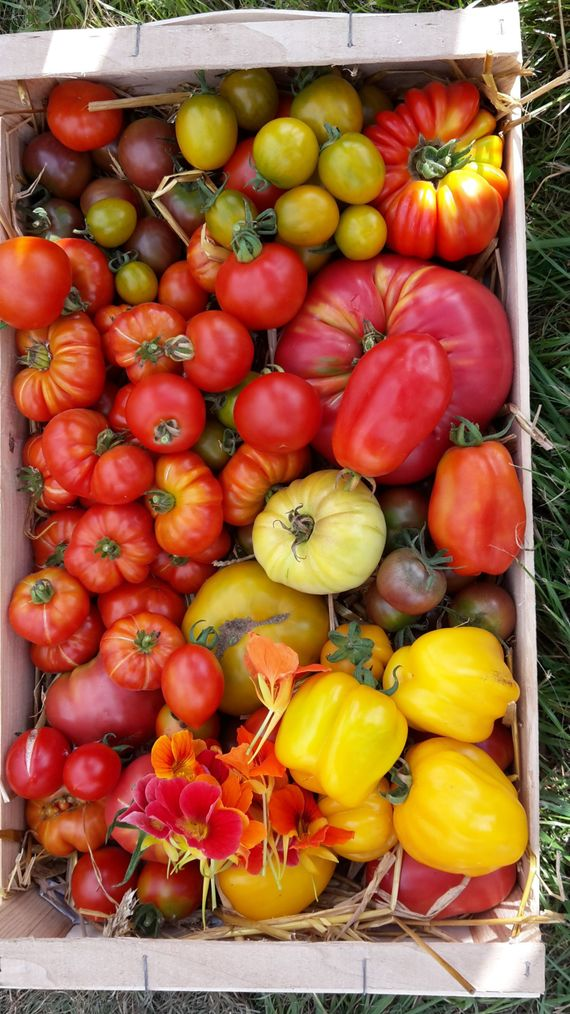 Leur spécialité : les variétés anciennes de tomates (18 sortes différentes) et les légumes oubliés.