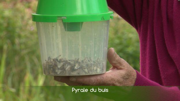 Piégez la pyrale du buis grâce à la diffusion de phéromones