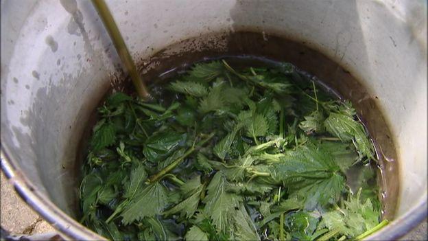 Les orties macèrent dans l'eau durant 15 jours
