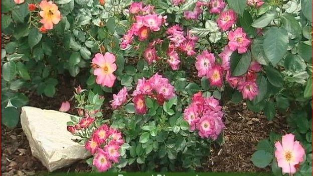 Un rosier du jardin