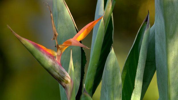 Oiseau du paradis ou Strelitzia reginae
