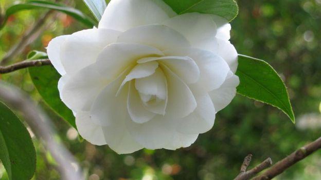 Les cam lias de la p pini re coquette rtbf jardins loisirs - Camelia prenom ...
