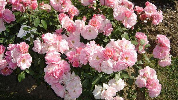 La taille des rosiers un d tail rtbf jardins loisirs - Quand tailler les rosiers buisson ...