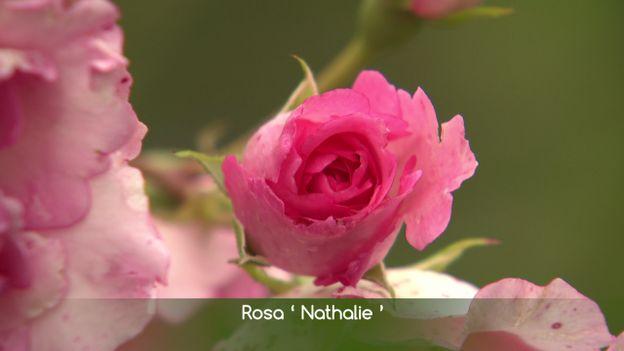 Rose du jardin privé d'André Eve à Pithiviers
