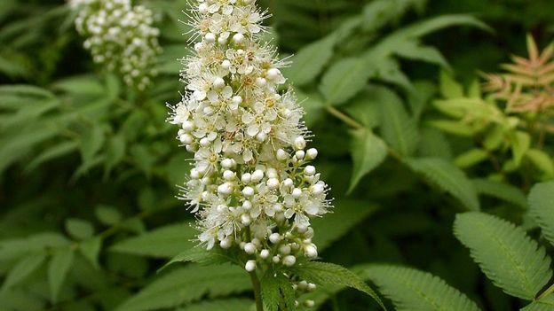 fleur du Sorbaria sorbifolia 'Sem'