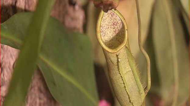 Nepenthes - plante carnivore