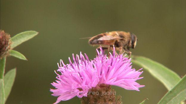 """La centaurée, une plante """"amie"""" des insectes butineurs"""