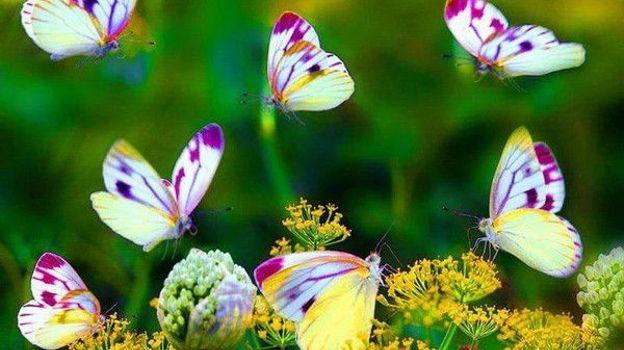 """Des centaines de """"papillons en liberté"""""""