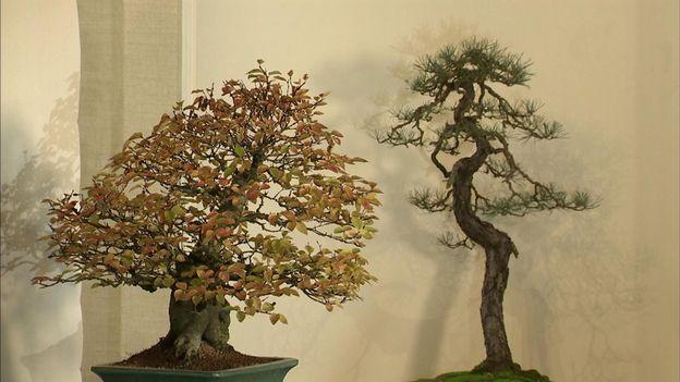 Tous les bonsaïs viennent de Belgique