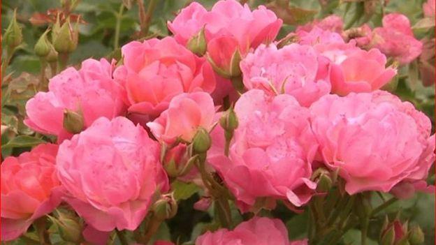 Les roses sont testées pour leur résistance aux maladies