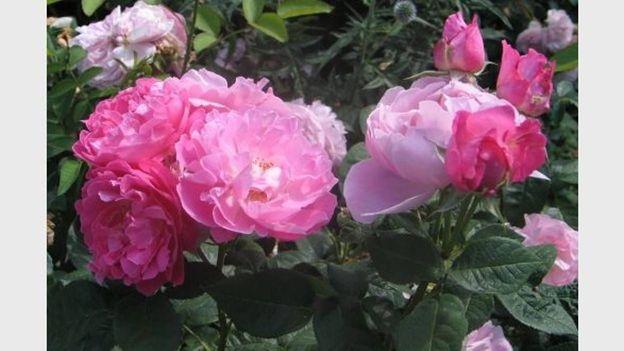 Roses - pépinière Godfroid