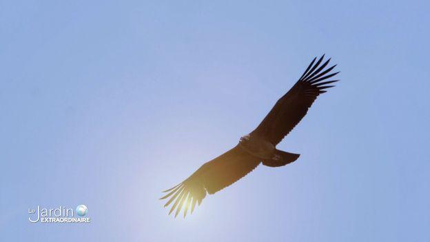 Canyon de Colca, le condor des Andes, 3,5 m d'envergure