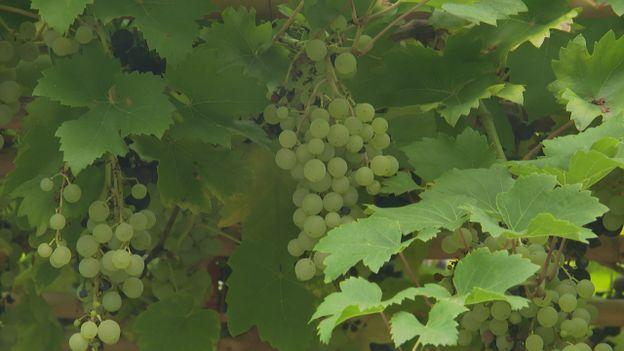 Luc nous en dit plus sur 2 variétés de vignes et  les fleurs d'arrière-saison