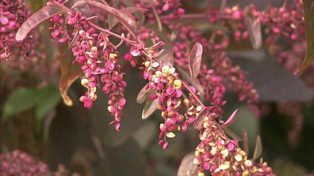 L'arroche rouge, une plante potagère particulièrement esthétique