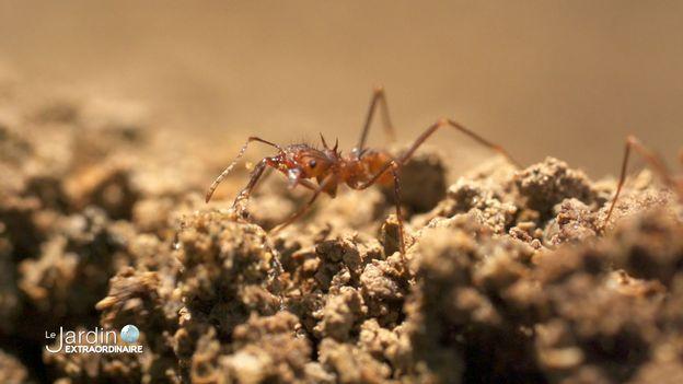 une des merveilles de la région, la fourmi