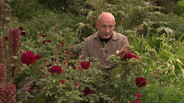 Francis parmi les roses  'Munstead Wood'