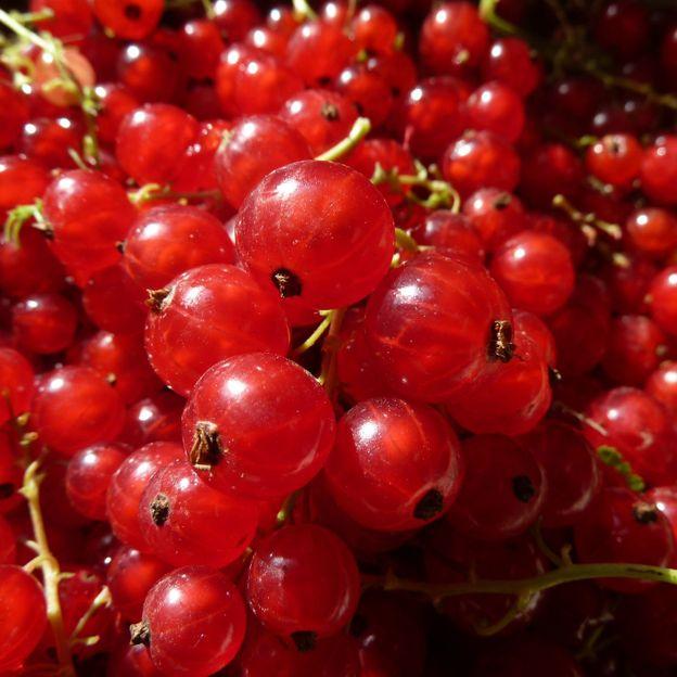 Différentes variétés de petits fruits testés -Kruisbessen/Proeftuin