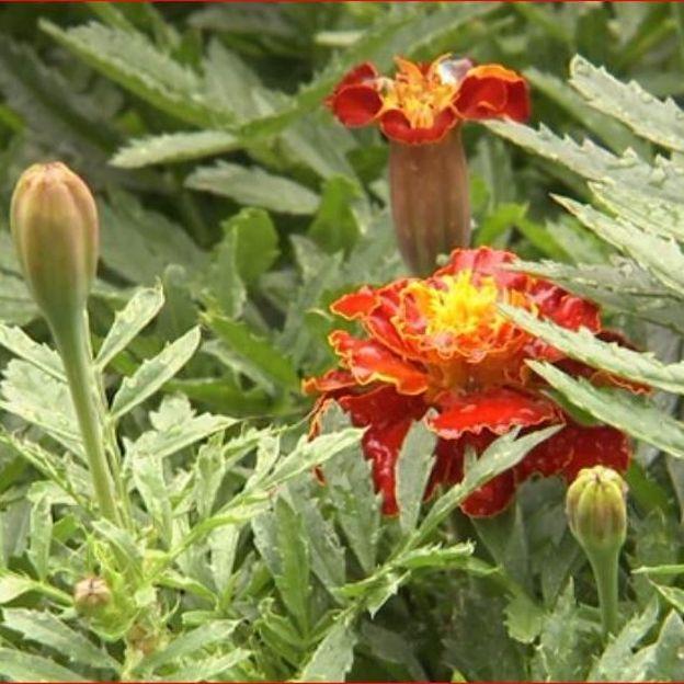 Des tagètes sont plantées parmi les rosiers pour lutter contre les nématodes dans le sol