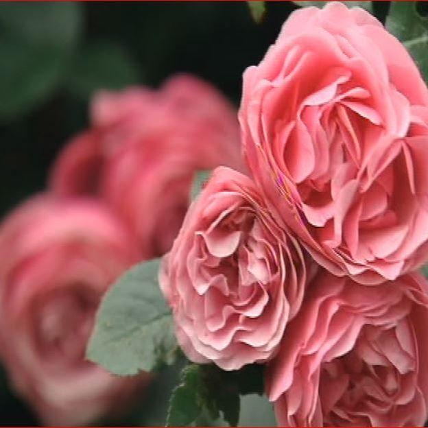 Les roses : la grande passion de Claudine et Michel
