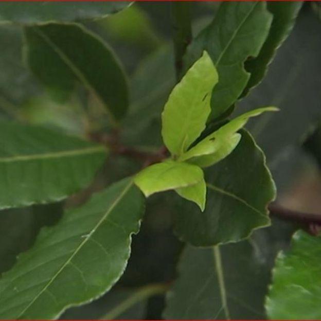Laurier sauce, laurier noble, laurier d'Apollon, trois noms pour une même plante