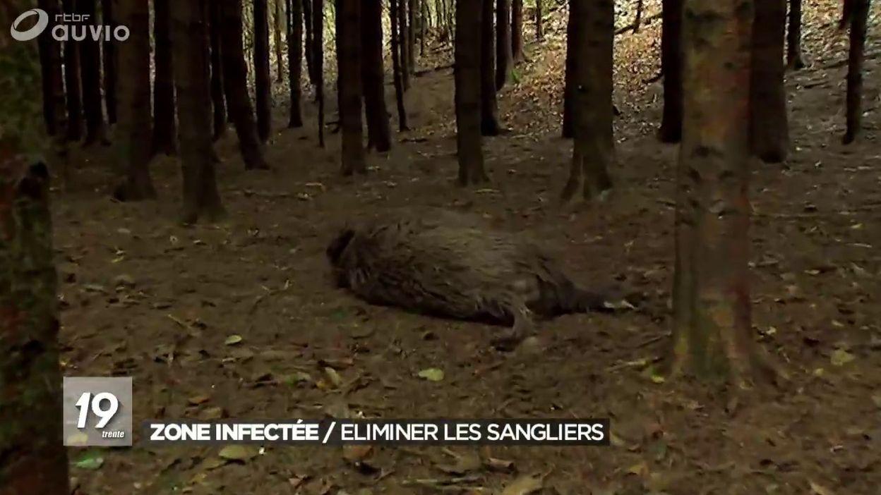 Peste porcine : élimination de sangliers dans la zone infectée