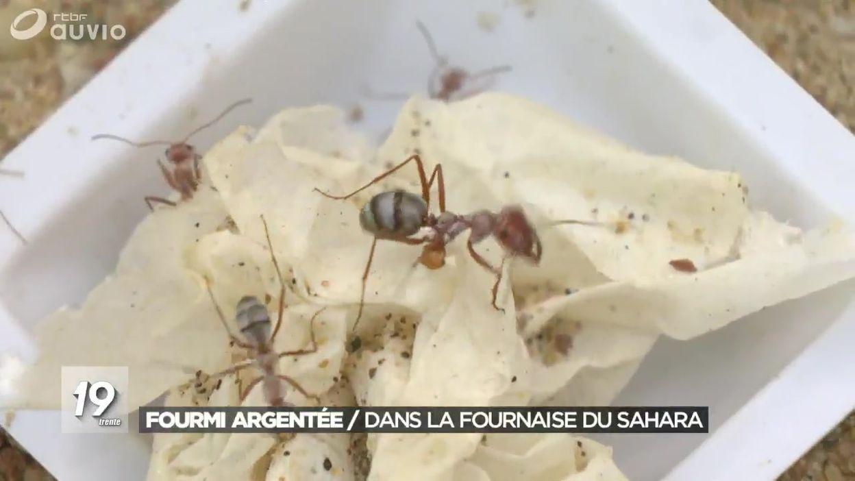 Les super pouvoirs de la fourmi argentée
