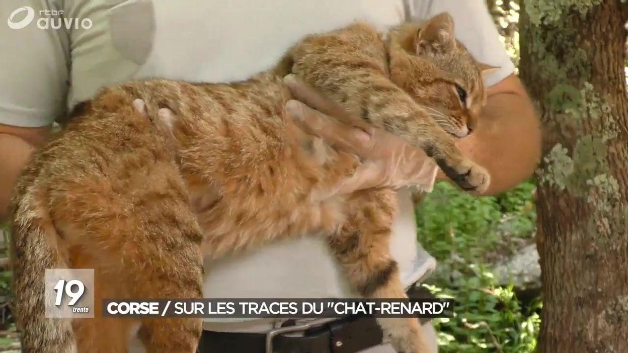 Corse : sur les traces du chat-renard