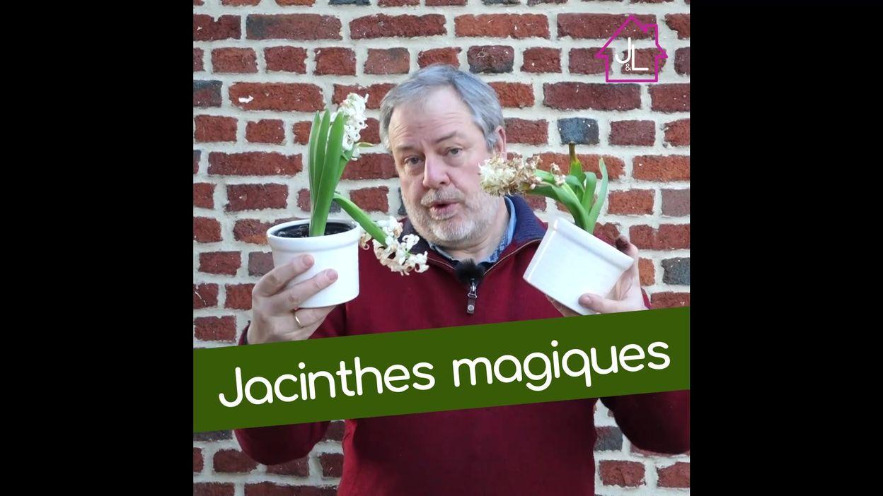 Plantation de jacinthes
