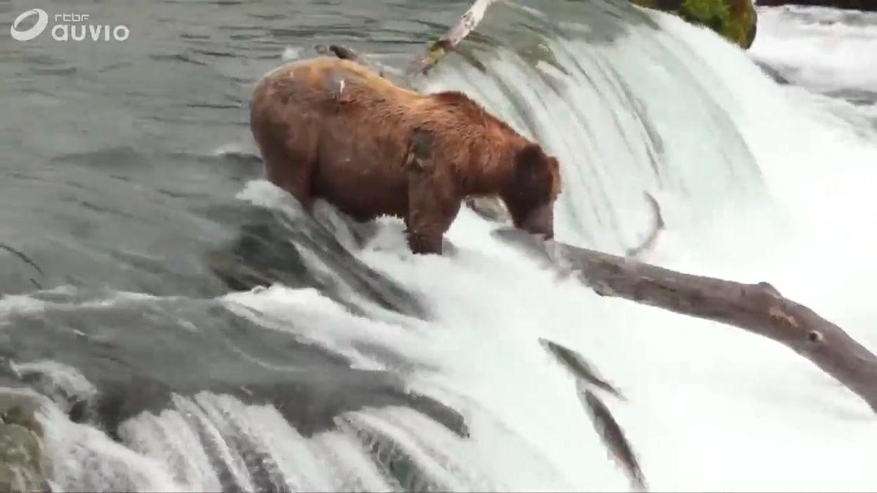 C'est l'heure du repas pour un ours brun dans le parc national Katmai, en Alaska