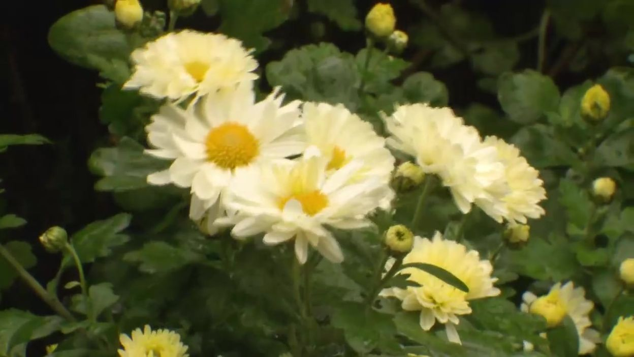 Le chrysanthème des jardins