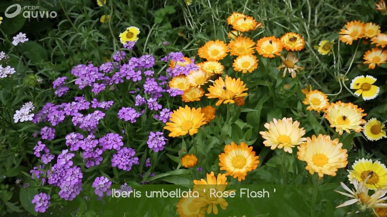 Au jardin Massart, un parterre fleuri d'annuelles 2