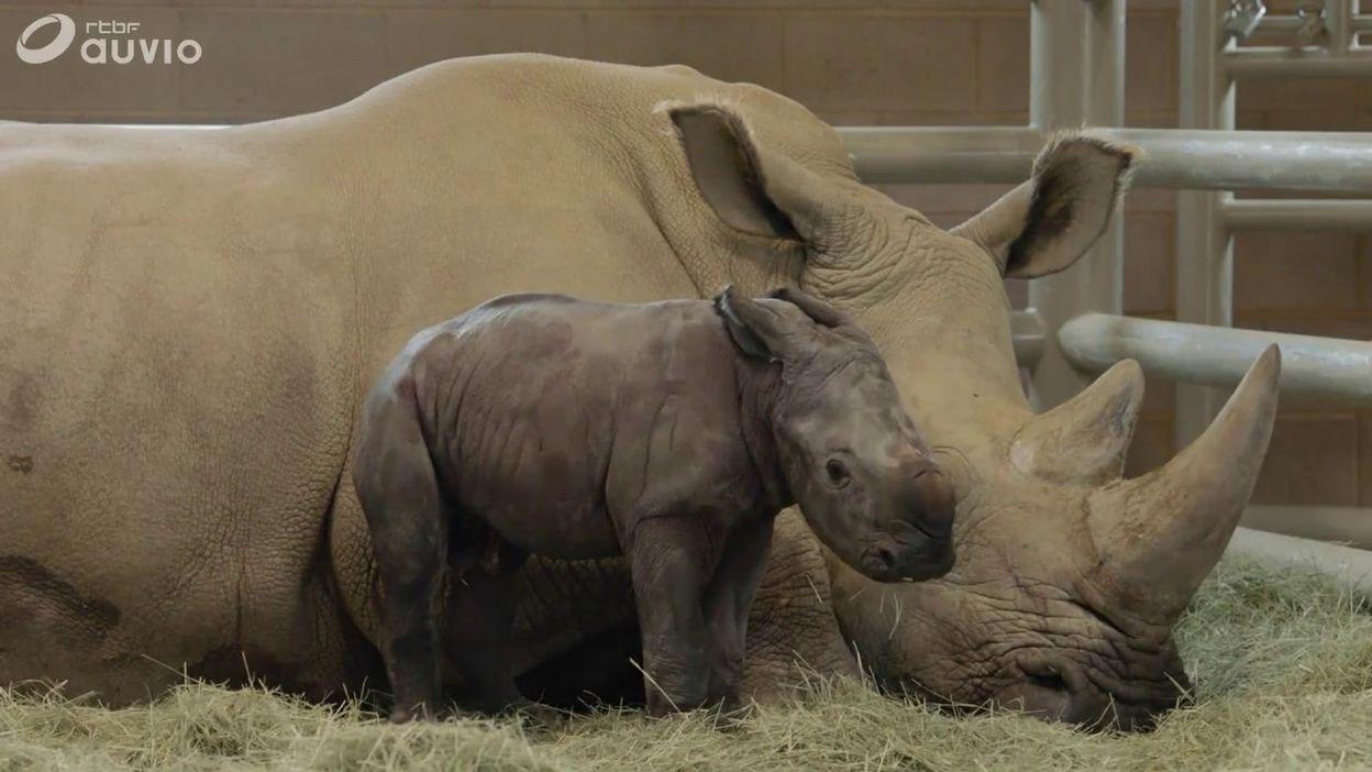 Naissance d'un rhinocéros blanc (du sud) au zoo de San Diego (USA) , ce 1er août