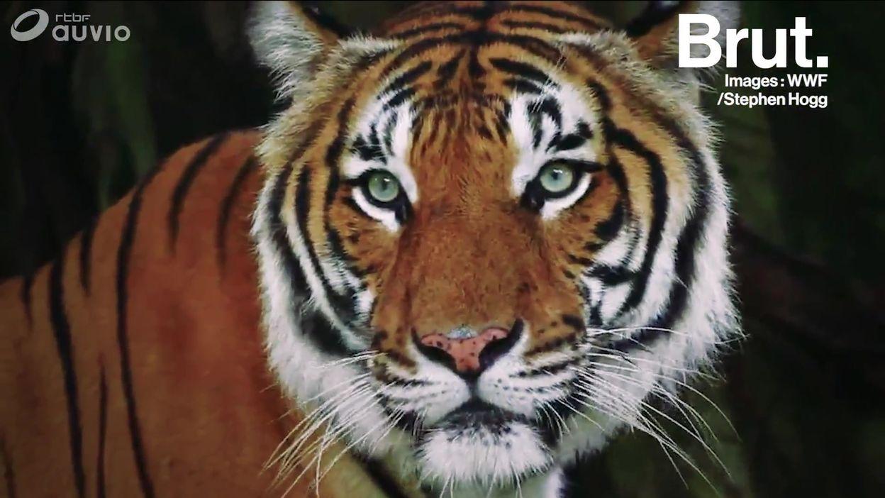 Bonne nouvelle : le nombre de tigres népalais est multiplié par deux