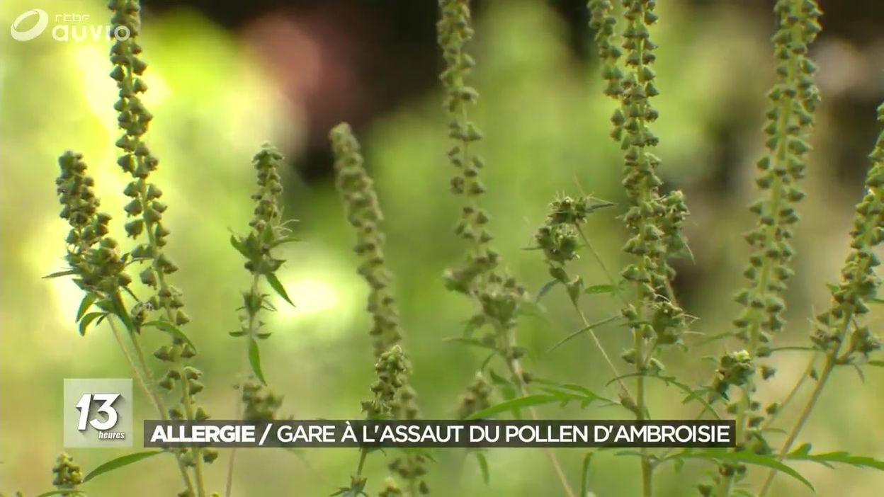 Allergie : gare à l'assaut du pollen d'ambroisie