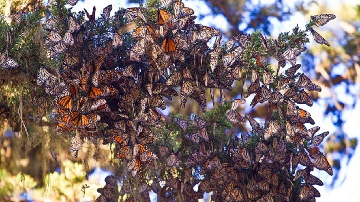Papillons migrateurs