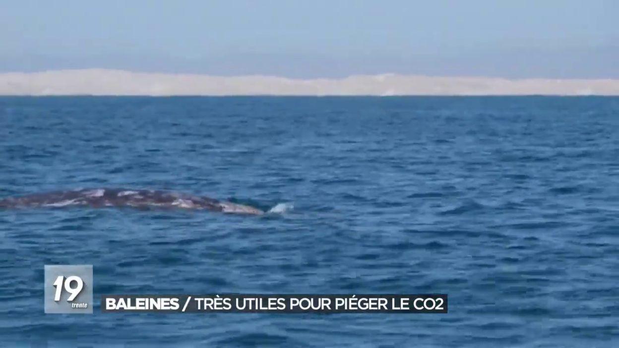 Baleines / Très utiles pour piéger le CO2