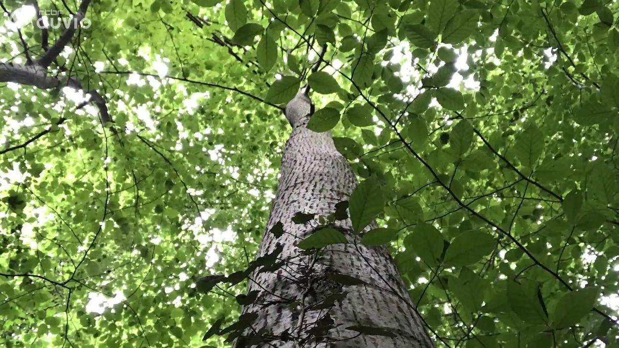 Les arbres aussi ont soif
