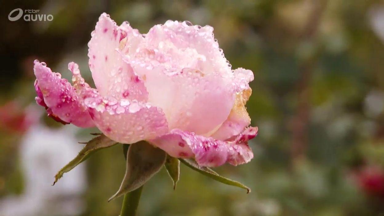 La pépinière Les Roses de Daniel Schmitz