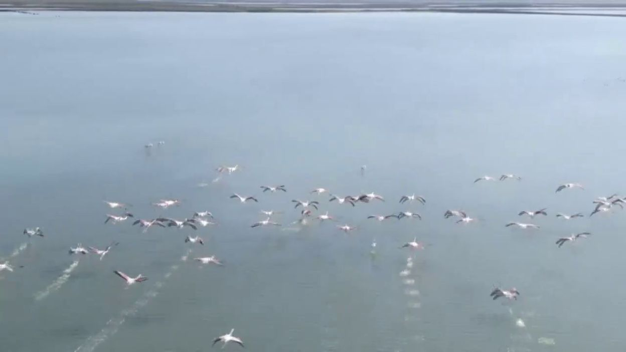 Vols de flamants roses au dessus du lac de Narta, en Albanie
