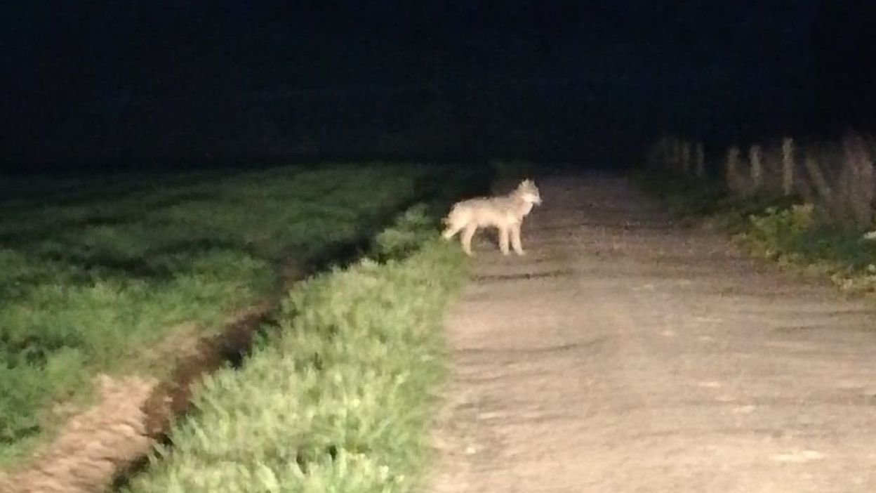 La vidéo du loup observé en province de Luxembourg