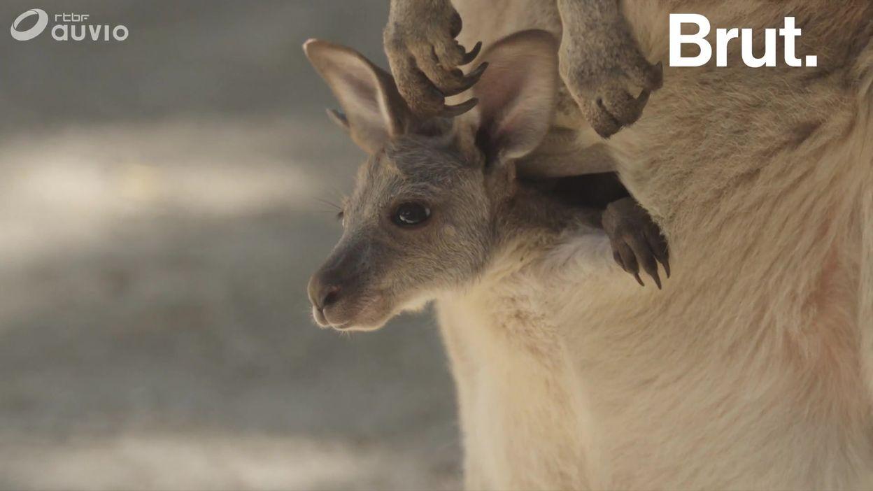 À quoi la poche ventrale des marsupiaux sert-elle ?