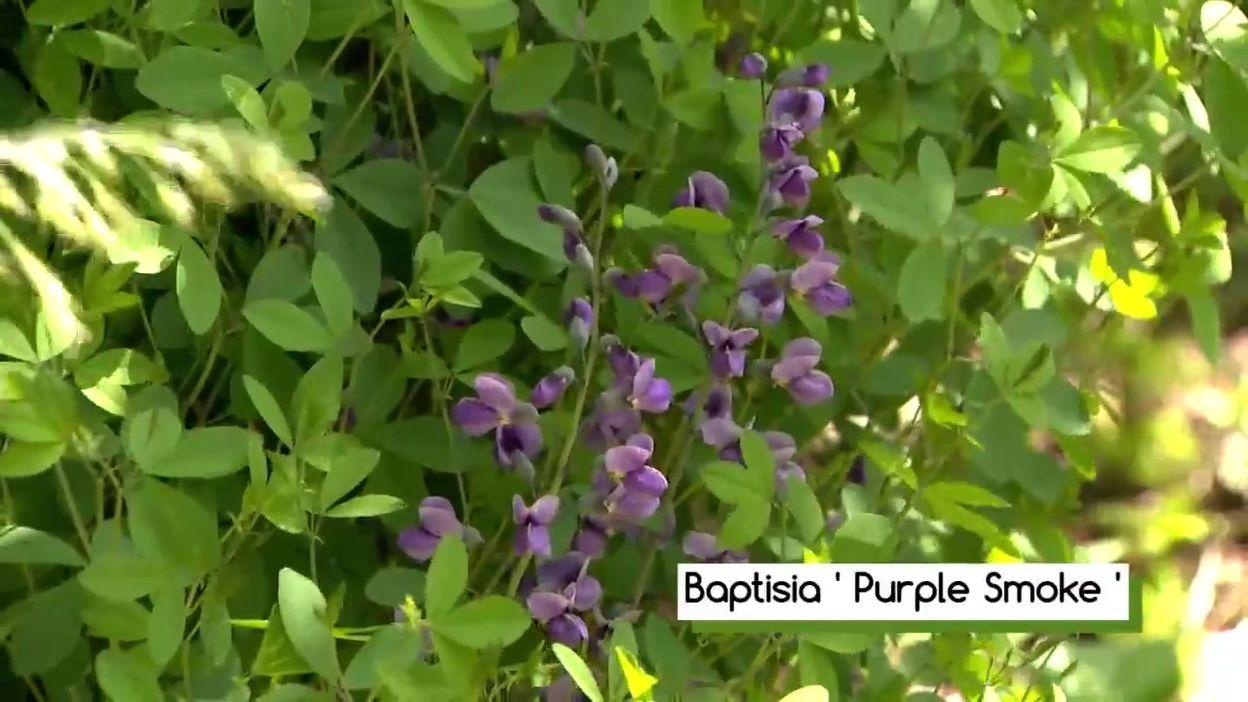 Baptisia 'Purple Smoke'
