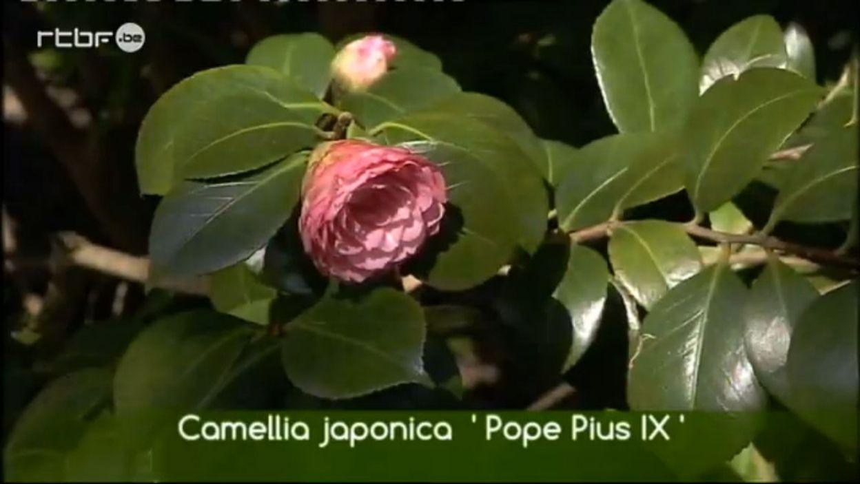 Les camellias de la pépinière Bambou du Bois